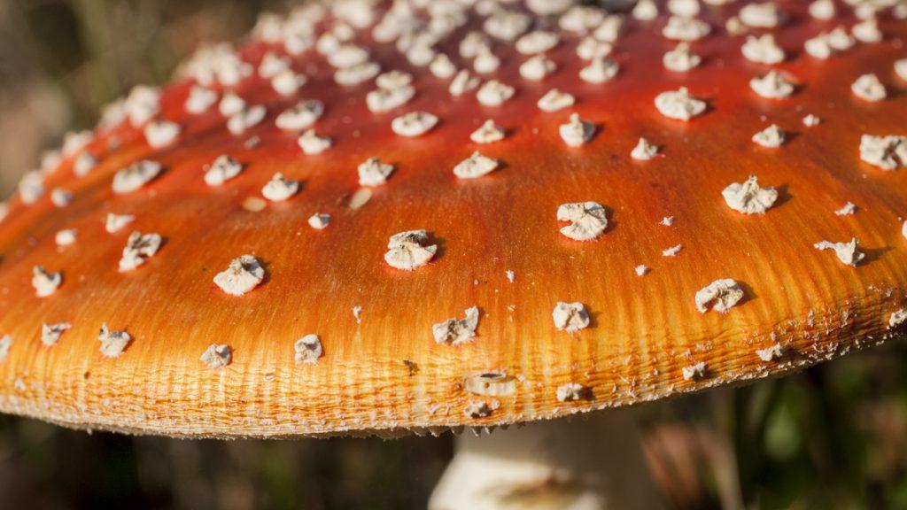 Hier sieht man schon, dass dieser Pilz giftig ist!