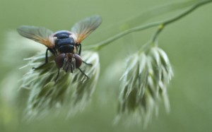 Schlafende Fliege